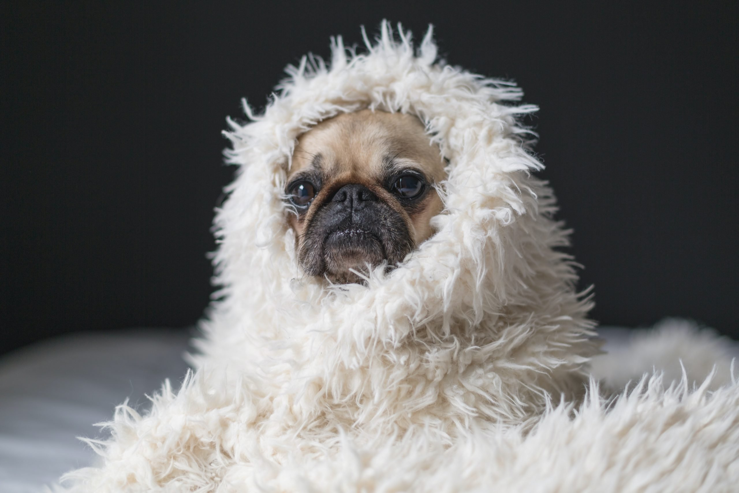 pug wrapped up in a furry white blanket